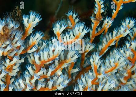 Weiche Korallen Polys Nationalpark Komodo Indonesien - Stockfoto