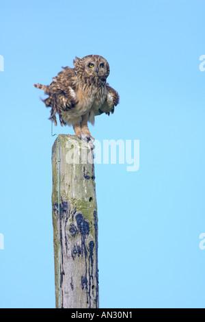 Kurze eared Eule Asio Flammeus Erwachsene auf Telegrafenmast Kräuseln Federn Insel Colonsay Schottland Juni - Stockfoto