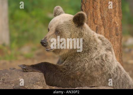 Europäischer Braunbär Ursus Arctos in der Taiga Wald Martinselkonen Suomussalmi Finnland-Juni - Stockfoto