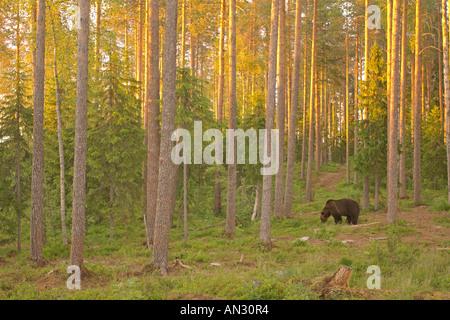 Europäischer Braunbär Ursus Arctos in Taiga-Wald bei Sonnenaufgang Martinselkonen Suomussalmi Finnland Juni - Stockfoto