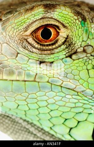Gemeinsamen grünen Leguan Iguana Iguana Mittel- und Südamerika