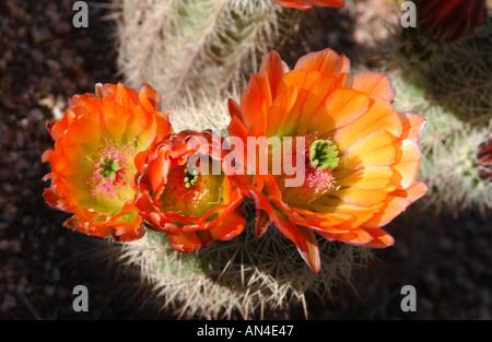 Rötlich gelb blühenden Feigenkaktus Opuntia Xoccidentalis in Arizona - Stockfoto