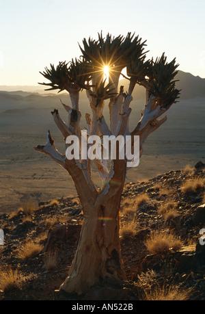 Köcher Baum (Aloe Dichotoma) über Kulala Tented Camp bei Sonnenuntergang, in der Nähe von Sossusvlei, Namibia - Stockfoto
