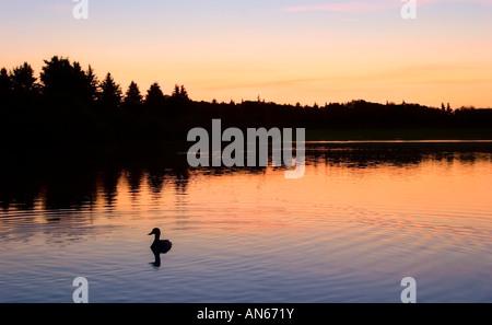Eine Ente im Wasser - Stockfoto