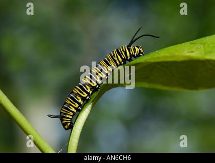 Monarchfalter, Danaus Plexippus, Raupe auf Wolfsmilch, Asclepias SP ...
