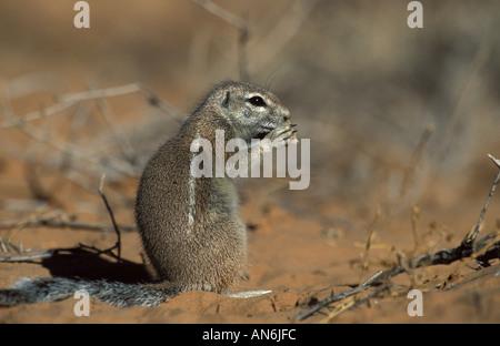 East African Grundeichhörnchen Xerus Inauris Kalahari Südafrika - Stockfoto