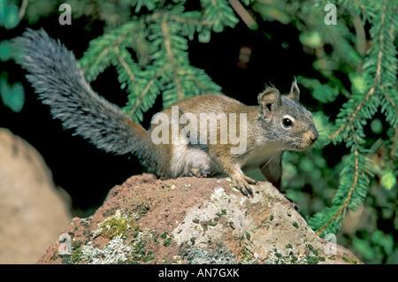 Eichhörnchen Tamiasciurus Hudsonicus Black River Alpine ARIZONA USA Juli Erwachsenen Sciuridae - Stockfoto
