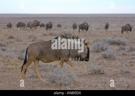 Herde von Gnus Connochaetes Taurinus im Etosha Nationalpark Namibia November - Stockfoto