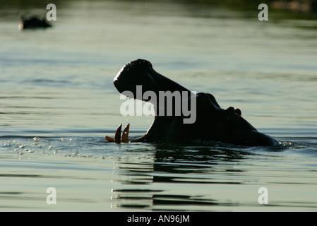 Nilpferd im Wasser mit seinen Mund offen - Stockfoto