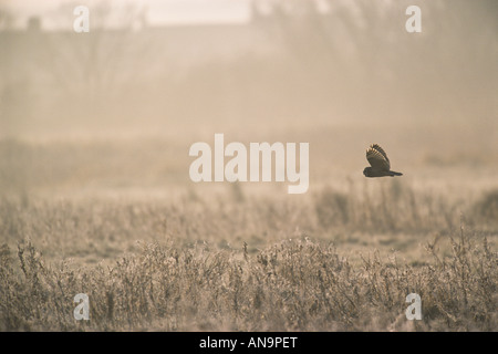 Kurze eared Eule Asio Flammeus Jagd über Weiden Marsh North Norfolk England Winter - Stockfoto
