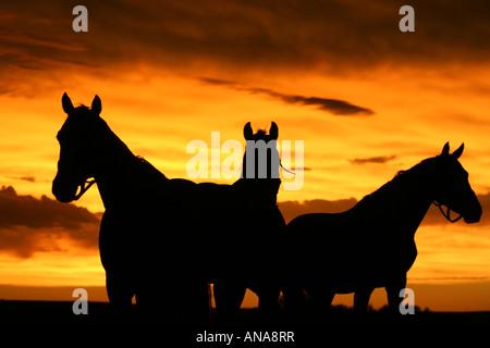 drei Pferde bei Sonnenuntergang - Stockfoto