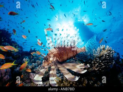 Ägypten Rotes Meer Ras Desha Divesite Moon Dancer Turkeyfish Pteroir Volitans u w - Stockfoto
