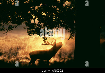 Rothirsch Cervus Elaphus Hirsch brüllen im Morgengrauen Richmond Park in London September - Stockfoto