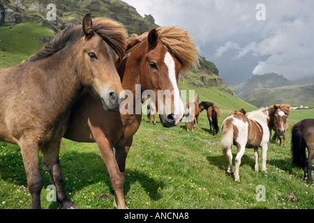 Islandpferde in Weide Island - Stockfoto