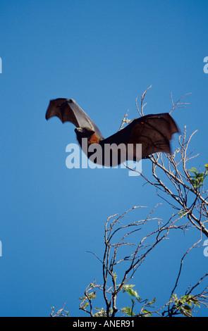 Graue Spitze Flughund Pteropus Poliocephalus fliegen vom Schlafplatz im Baum Sydney Botanic Gardens - Stockfoto