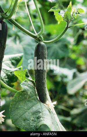 Gurken wachsen im Garten, Nahaufnahme - Stockfoto