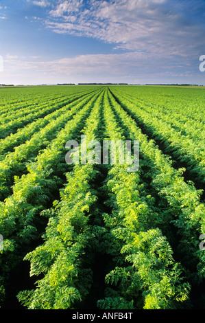 Karotte-Feld in der Nähe von Portage La Prairie, Manitoba, Kanada. - Stockfoto