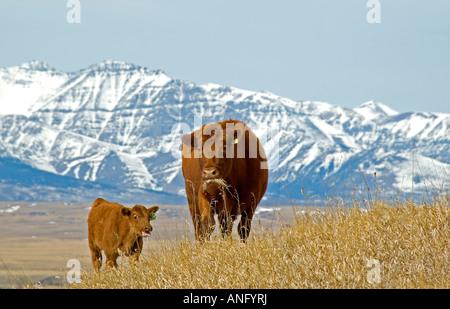 Rote Angus (Bos Taurus) weiblich und Kalb auf der Weide grasen. Berge im Hintergrund sind in der Nähe von Waterton - Stockfoto