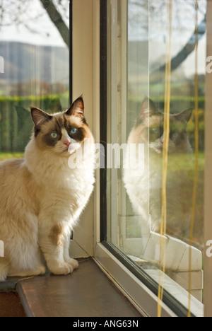 """""""Acht Monate alt"""" Stammbaum seal bicolour Ragdoll Katze sitzt auf einem Fensterbrett in einem englischen Haus - Stockfoto"""
