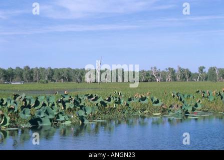 Malerische Aussicht von Feuchtgebieten, große Gruppe von Lotus Lilien im Vordergrund, Yellow Water Billabong, Kakadu - Stockfoto