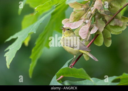 Orange-gekrönter Warbler (Vermivora Celata), Britisch-Kolumbien, Kanada. - Stockfoto
