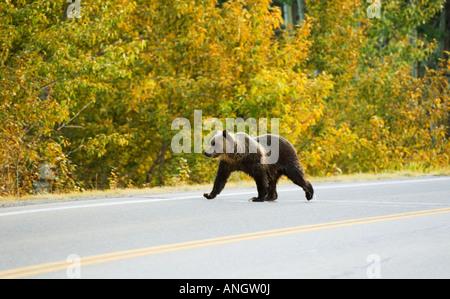 Grizzly Bär (Ursus Arctos Horribilis) juvenile Kreuzung Highway in der Nähe Eingang zum Park. Wahrscheinlich drei - Stockfoto