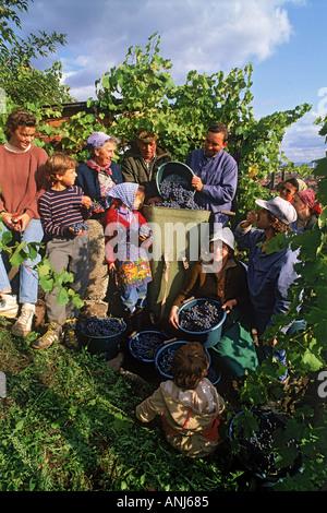 Einwandererfamilien, die Ernte der Trauben um Esslingen Deutschland - Stockfoto