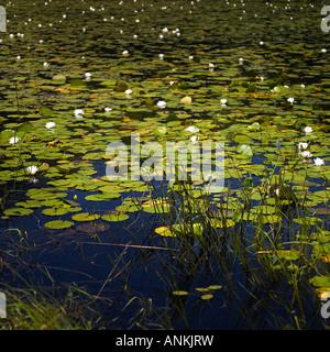 Ein Teich mit Lilien - Stockfoto