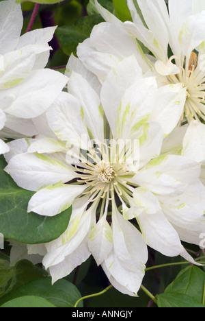 Clematis 'yukiokoshi' Weiße doppelte Blüten Nahaufnahme Nahaufnahme Blasenmützenmoos mit grünen Akzenten ungewöhnliche - Stockfoto