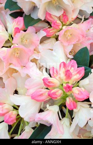 Rhododendron 'Dreamland' Yakusima hybrid x Knospen & Blüten Nahaufnahme Nahaufnahme pinks Portrait ID Strauch blüht - Stockfoto