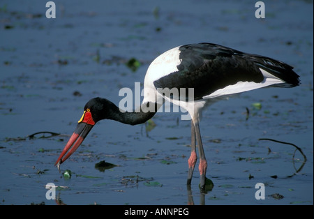 Erwachsenen Sattel – abgerechnet Storch Angeln im kleinen See. - Stockfoto