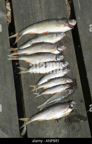 Fisch, Fischen, fangen, gefangen, Kopf, Schwänzen, Sprotten, klein, Braten, Angeln, - Stockfoto