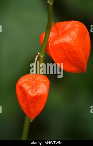 Chinesische Laterne Pflanze (Physalis Alkekengi) - Stockfoto