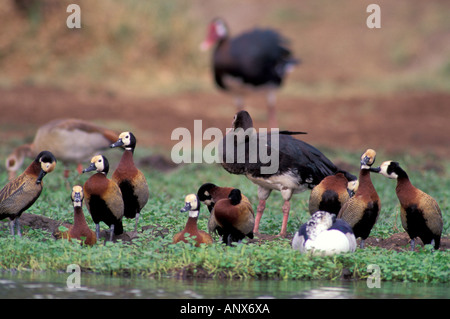 Afrika, Tansania, Tarangire-Nationalpark. Super-geflügelte Gans und White-faced pfeifenden Enten - Stockfoto