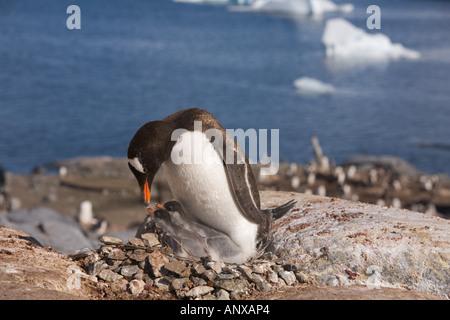 Zwei kürzlich geschlüpften Gentoo Pinguinküken betteln für Lebensmittel aus ihrer Eltern in Port Lockroy eine beliebte - Stockfoto