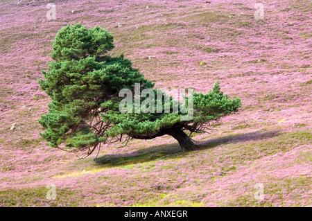 Scots Kiefer, geformt durch den vorherrschenden Wind, wächst auf eine blühende Heide-Moor in den Cairngorms, Schottland. - Stockfoto