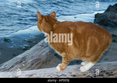 orange Katze am Strand auf Treibholz in der Dämmerung beobachten die Wellen am Ufer - Stockfoto