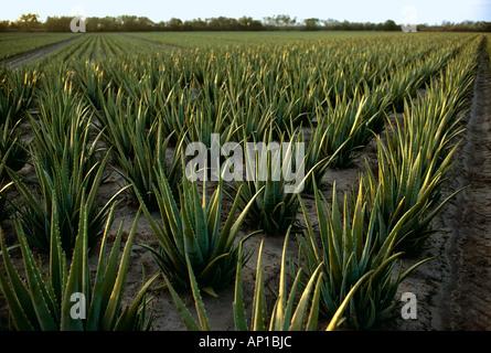 Landwirtschaft - Bereich der Aloe Pflanzen erntereif, verwendet in Hautcremes / Brownsville, Texas, USA. - Stockfoto