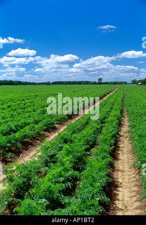 Landwirtschaft - Bereich der Reife Ernte bereit Karotten / Wisconsin, USA. - Stockfoto