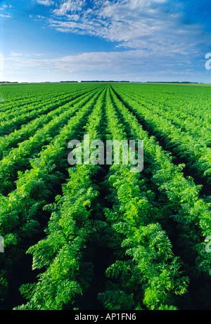 Landwirtschaft - Grossfeld Reife Karotten fast bereit zur Ernte / in der Nähe von Portage La Prairie, Manitoba, - Stockfoto
