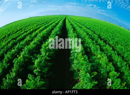 Landwirtschaft - Grossfeld Reifung Karotten / in der Nähe von Portage la Prairie, Manitoba, Kanada. - Stockfoto