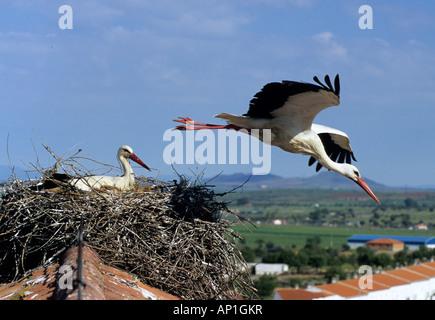 Weißstorch-Ciconia Ciconia paar mit einem verlassen nisten Spanien Sommer - Stockfoto