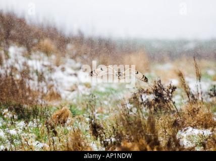 Short-eared Eule Asio Flammeus Jagd im Schnee Norfolk Winter - Stockfoto