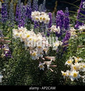 Königliche Lilien Lilium Regale mit Rittersporn im Sommer - Stockfoto