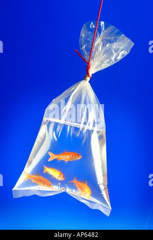 Goldfische in Plastik Beutel wird durch rote Schnur baumelten - Stockfoto
