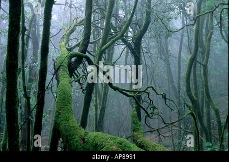 Moos am Baum im Wald, Nationalpark Garajonay, La Gomera, Kanarische Inseln, Spanien - Stockfoto
