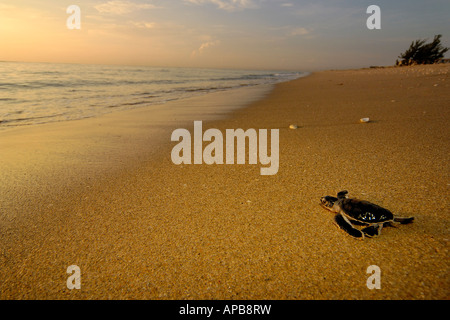 Grüne Meeresschildkröte Chelonia mydas - Stockfoto