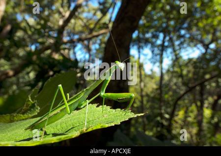 grünen wilden Praying Mantis Mantis Religiosa auf einem Blatt Tarnung im Dschungel Wald Bandipur Berg NEPAL Asien - Stockfoto