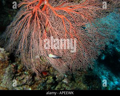 Ventilator Korallen Agincourt Reef Great Barrier Reef North Queensland Australien - Stockfoto