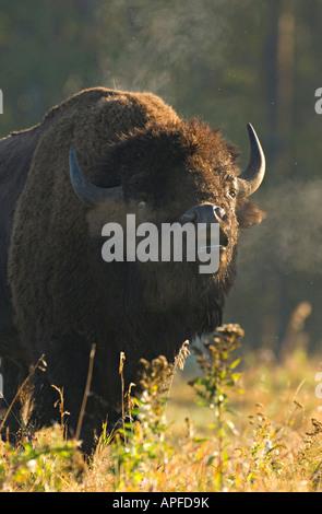 Eine männliche Bison Beduftung für Damen - Stockfoto